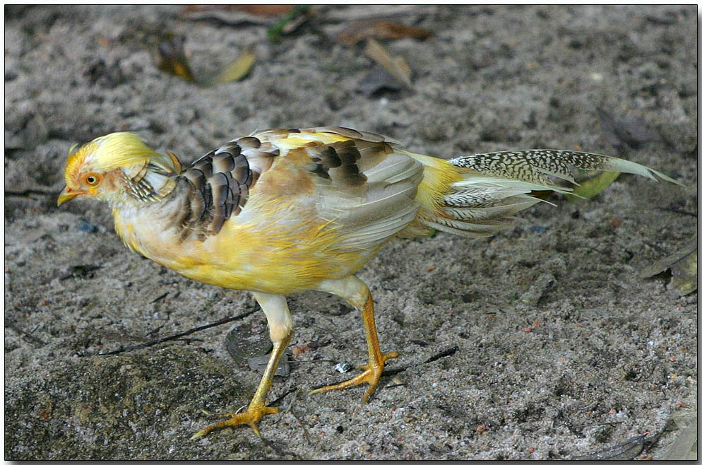 Golden Pheasant - male