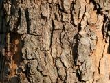 Dogwood Bark