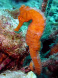 Sea Horse at Mi Dushi Reef