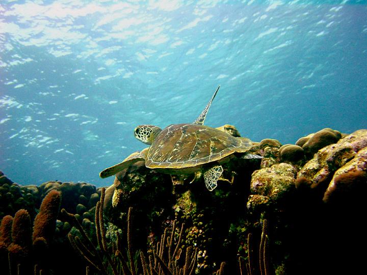 Green Turtle at Karpata