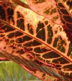 Crotons flurish in the yard adding color