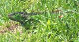 Iguana LiL Sis being coy in the grass