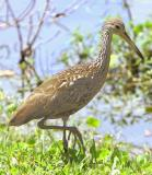 Mrs Limpkin looking for freshwater Clams