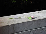 A discarded rose...in NY City