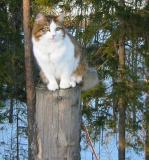 Siberian Cat Martta - Amante's Divertimento