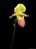 Paph Pinocchio (glaucophyllum x primulinum)