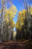 Aspen along the road to Hart Prairie