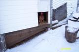 Chickens afraid of snow