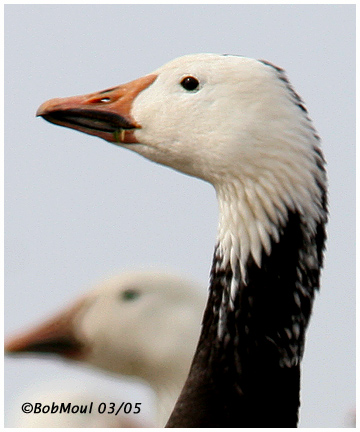 Snow Goose Adult Dark Phase