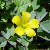 Yellow wood sorrel