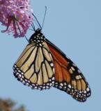 butterfly34