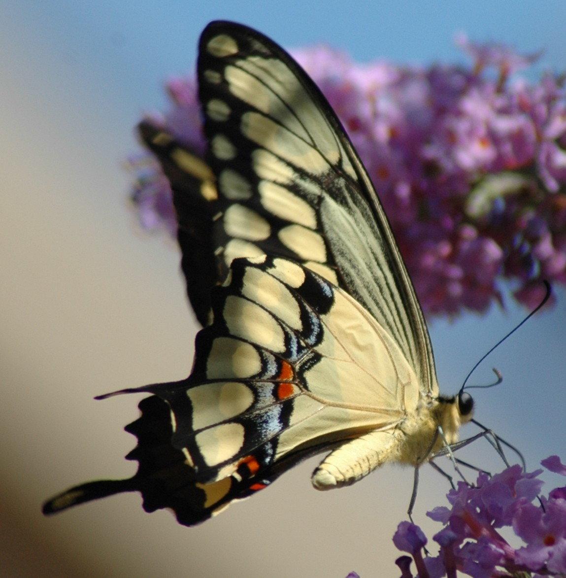 butterfly 2004