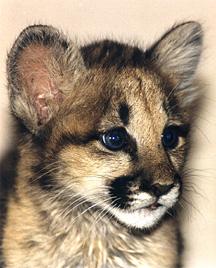 Aurora the Baby Cougar 1998.JPG