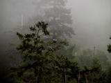 Eagles in the fog2.jpg