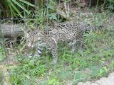 Ocelot at the Belize Zoo