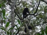 Howler Monkey at the Belize Zoo