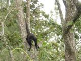Monkey at the Belize Zoo