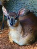 Miniature Red Deer