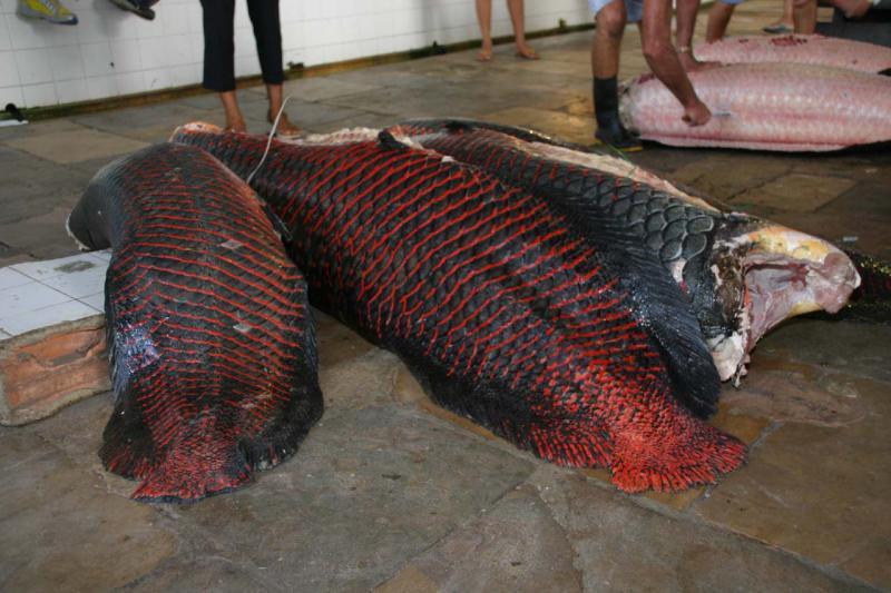 Pirarucu (large Amazon fish) at Manaus Fish Market