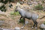 Nilgai (Boselaphus tragocamelus), also known as Blue Bull Antelope, is the largest species of antelope in Asia