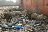 Pigs wading in plastic garbage near the Taj Mahal