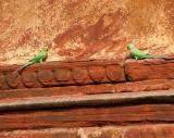 Parakeets on Agra Fort