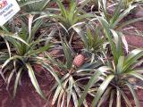 Dole Pineapple Plantation, Oahu