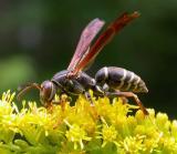 Paper wasp - (Polistes fuscatus?) - 3