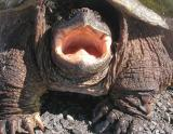 snapping turtle - 4