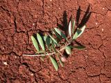 85 Olive turf