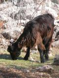 113 Goat Ramazan missed