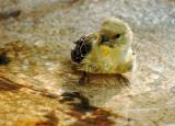 First Baby Bird Bath