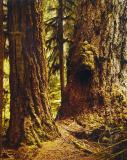 Douglas Fir, Cathedral Grove, Vancouver Island