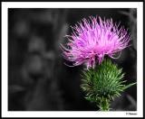 8/16/04 - Scots Flower