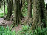 Mature Trees Aligned on Nurse Log