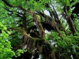 Hanging Moss Tree