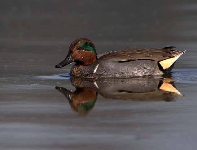 Yellow-winged Teal