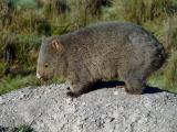 Common Wombat, Vombatus ursinus