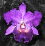 Cattleya Watercolor