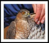 Sharp-Shinned Hawk on Display