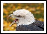 Talkative Eagle