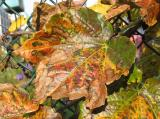Boston Ivy or Parthenocissus tricuspidata
