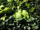 Ivy Patch with Yellow Green Hosta Lily