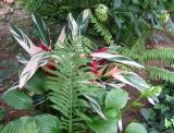 Ginger with Ground Foliage
