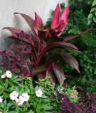 Cordyline fruticosa - Hawaiian Ti Plant