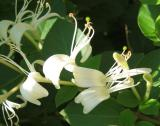 Honeysuckle or Lonicera