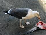Catch of the Day for this Gull