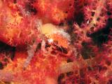 Decorator crab hides in a soft coral
