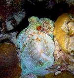 Octopus 6