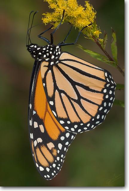 <!-- CRW_7790_small.jpg -->Monarch